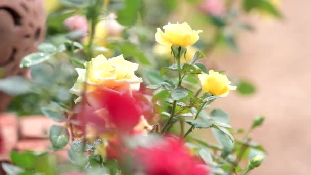 Pulling focus of yellow rose blossom to red rose in roses flower field. nature backgrounds.