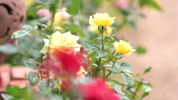 Húzza piros rózsa Rózsa virág mező sárga Rózsa virág középpontjában. természet háttérképek.