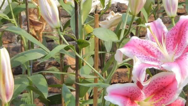 Posouvání květiny růžové lilie v květu pole. Příroda backgrounds.