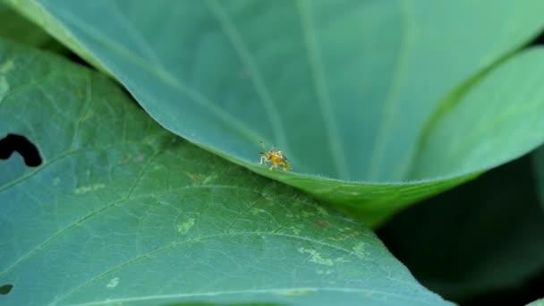 Ingrandisci di verde coccinella, ali trasparenti specie, sulle foglie nella foresta pluviale tropicale