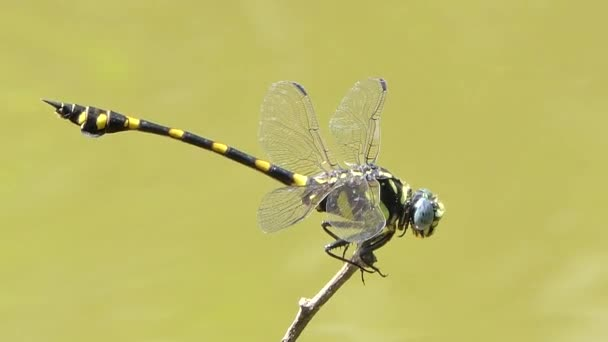 Společná Clubtail a červená vážka létání a okouna na větvi, creek pozadí v tropickém deštném pralese