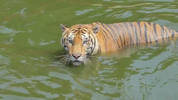 Slow motion of Bengal tiger (Panthera tigris tigris) was swimming in pond.