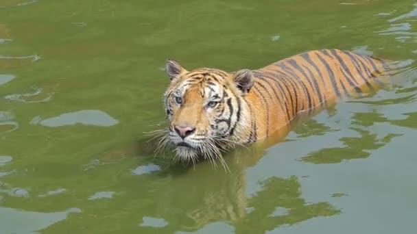 Lento movimento della tigre bengala (Panthera tigris tigris) stava nuotando nello stagno.
