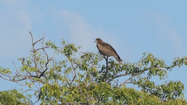Red-Shouldered Hawk perching tree in tropical rain forest.