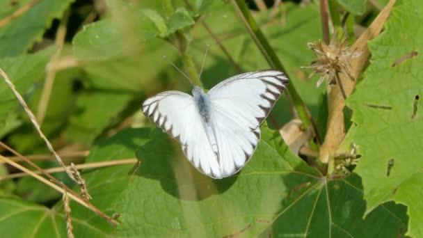 Albatros pruhovaný (Appias libythea) motýl jedoucí nektar divokého květu na louce.