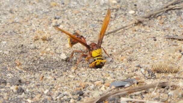 Wespen sammeln Erde zum Nestbau.