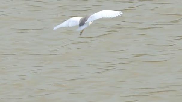 Čínský jezírkový volavka (Ardeola bacchus) létající v mokřinách.
