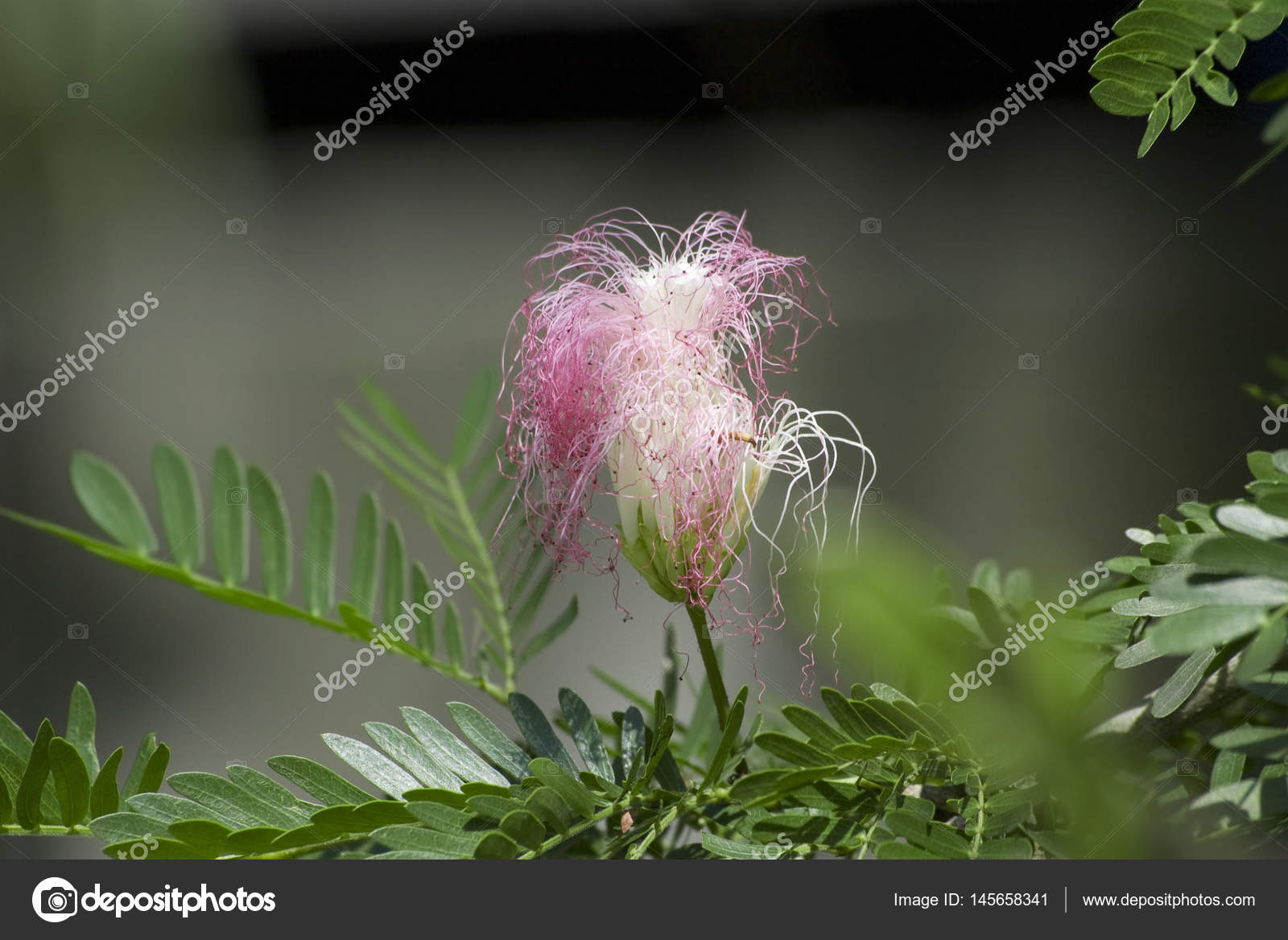 Tropical Pink Flower With A Dark Background Stock Photo Nozyer