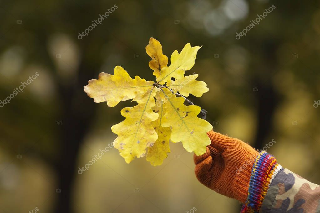 Mans hand in a glove holding oak leaves