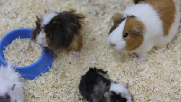 Hamster. Meerschweinchen. Tiere im Zoo