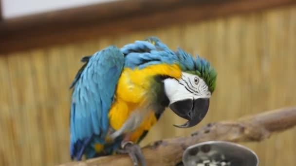 Velký papoušek zblízka. Modrý a žlutý macaw
