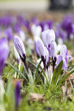 Some crocuses on the meadow in sunny day