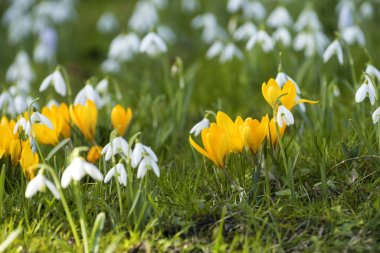 Some crocuses and snowdrops on the meadow in spring day