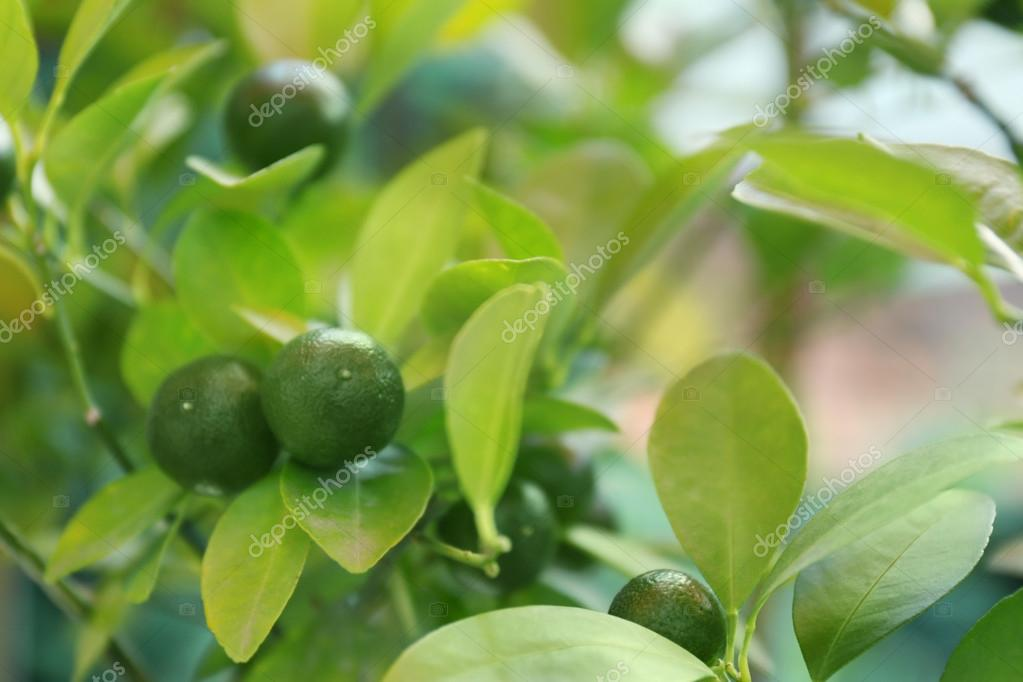 Unripe tangerines on branch