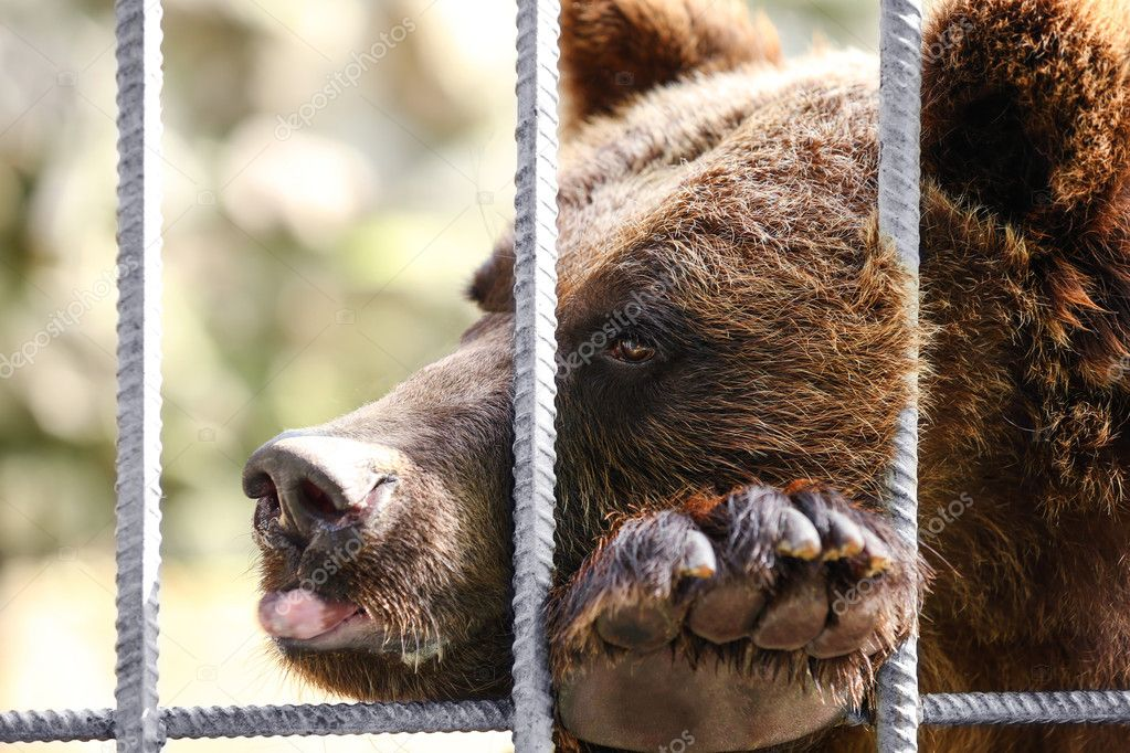 tired bear in cage
