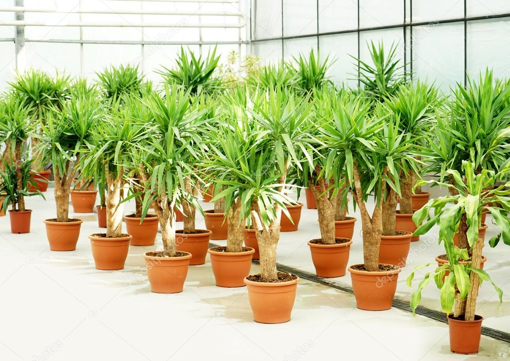 Beautiful palm trees in pots