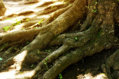 Big tree roots in a green forest