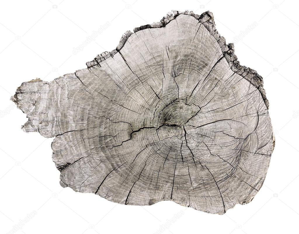 Cross section of tree trunk  isolated on white