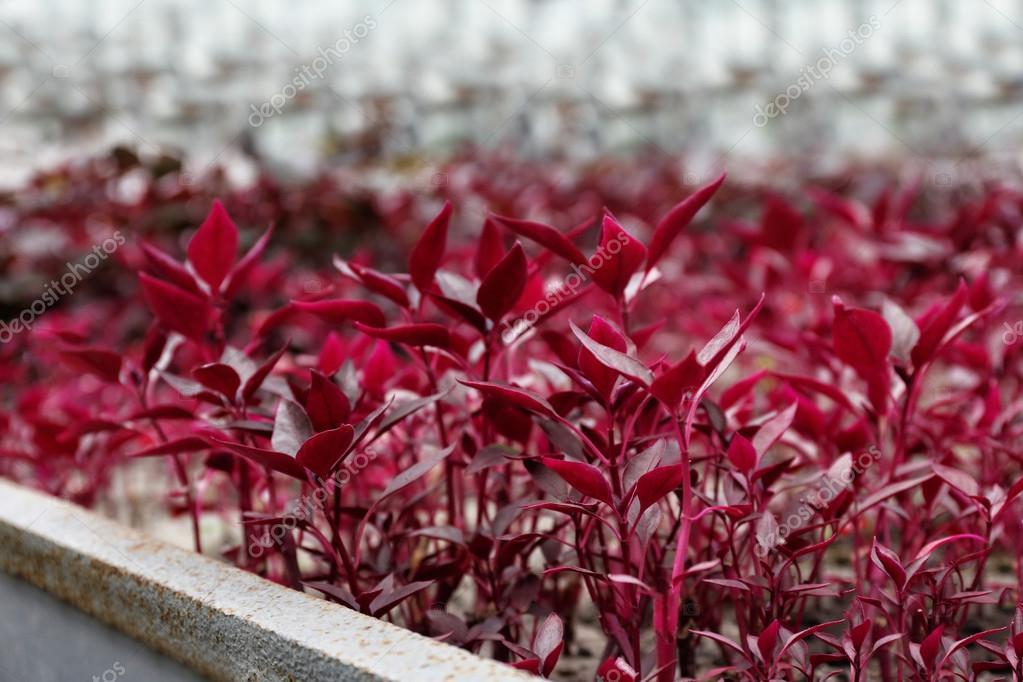Hermosas Plantas Rojas En Invernadero Cerrar Vista
