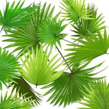 Palm  leaves (Livistona Rotundifolia palm), on white background