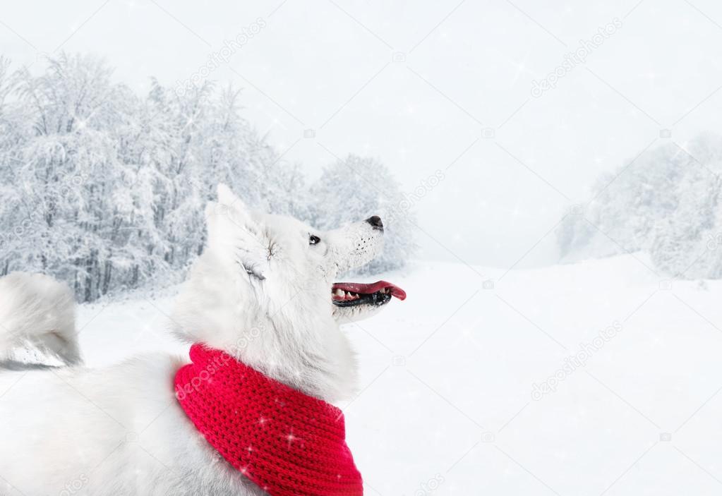 Fluffy samoyed dog wearing red scarf on beautiful winter landscape
