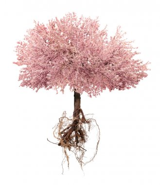 Blossoming pink sacura tree with a root isolated on white