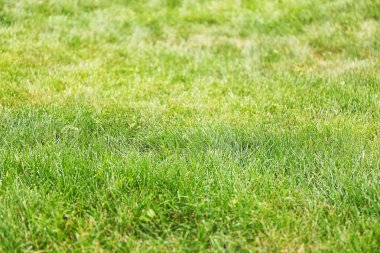 Green grass on lawn