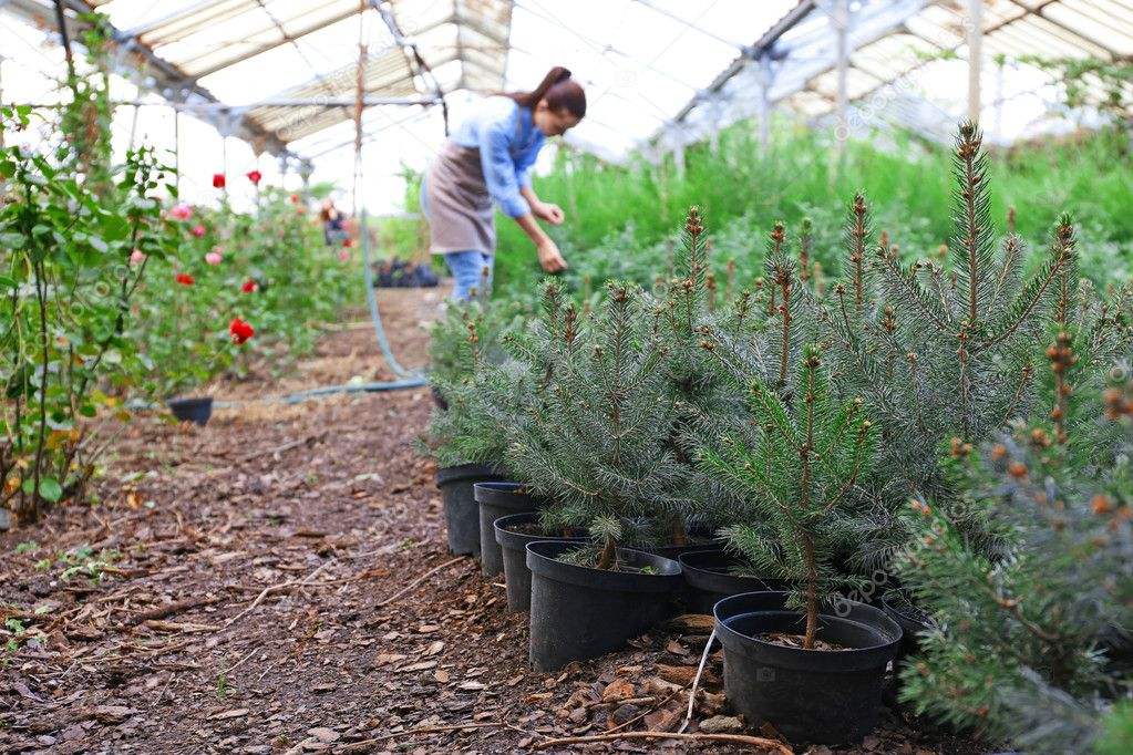 Young fir tree plants in greenhouse