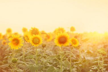 Beautiful sunflower field in morning