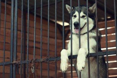laika in animal shelter cage