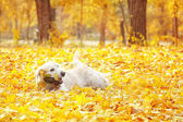 Legrační Labradorský retrívr