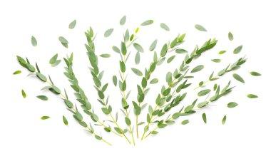 Green eucalyptus branche