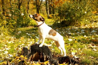 Funny Jack Russell terrier in autumn park