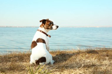 Funny Jack Russell terrier outdoors
