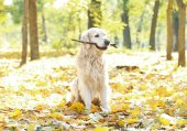 Funny labrador retriever with stick