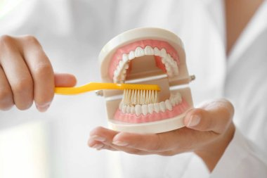 dentist cleaning dental jaw model