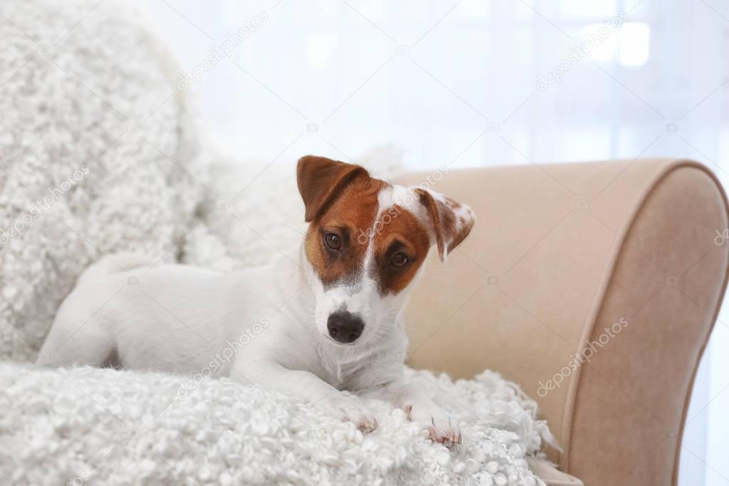 Cute Jack Russel Terrier on sofa in the room