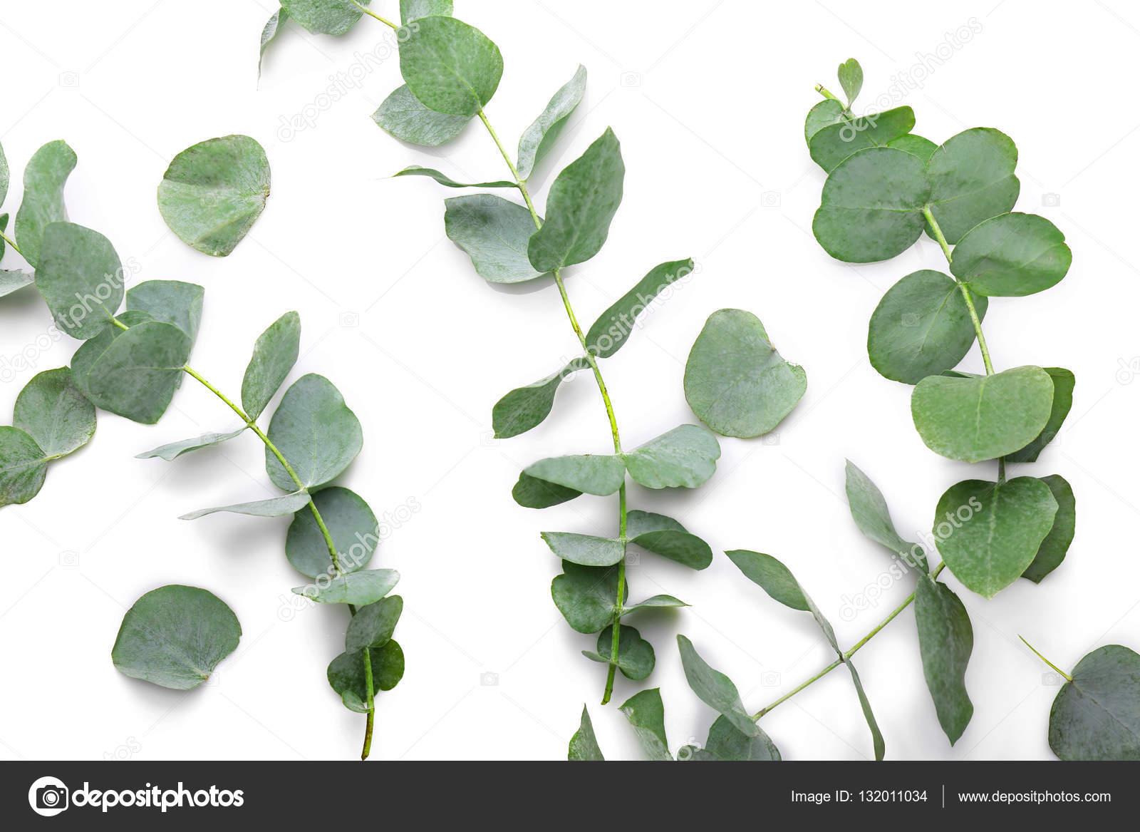 branches d'eucalyptus vert — photographie belchonock © #132011034