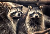 Photo Cute funny raccoons in zoological garden