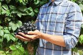 Fotografia Mani dei coltivatori con grappolo duva