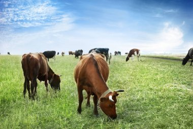 Cows grazing on farm