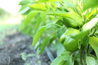 Green bell peppers growing in garden