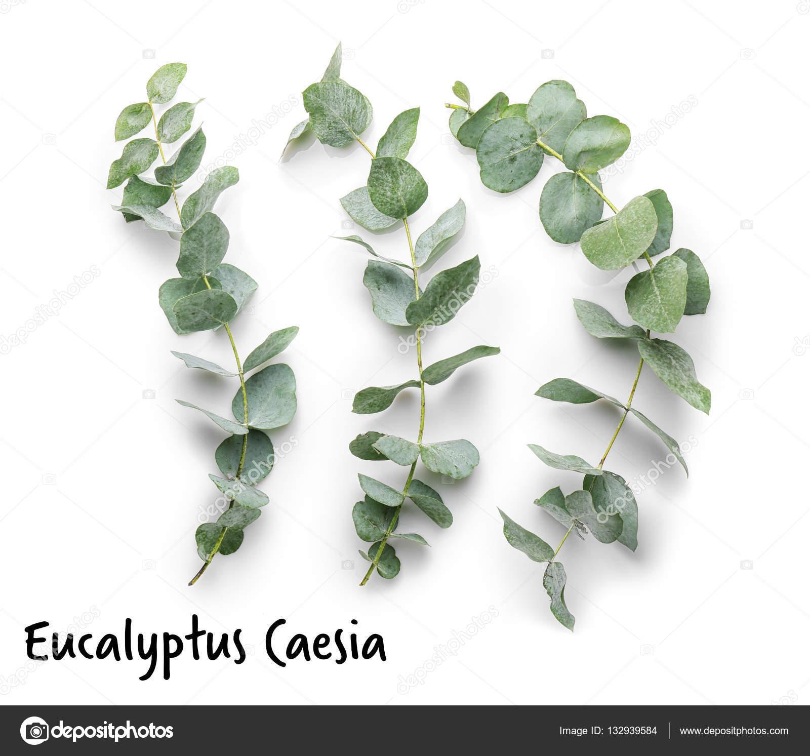 branches d'eucalyptus vert — photographie belchonock © #132939584