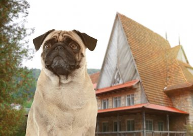 pug guarding private property
