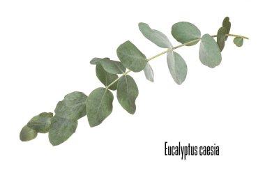 Green eucalyptus branch