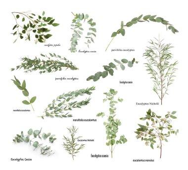 Green eucalyptus branches