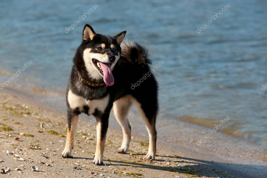 Cute little Shiba Inu dog