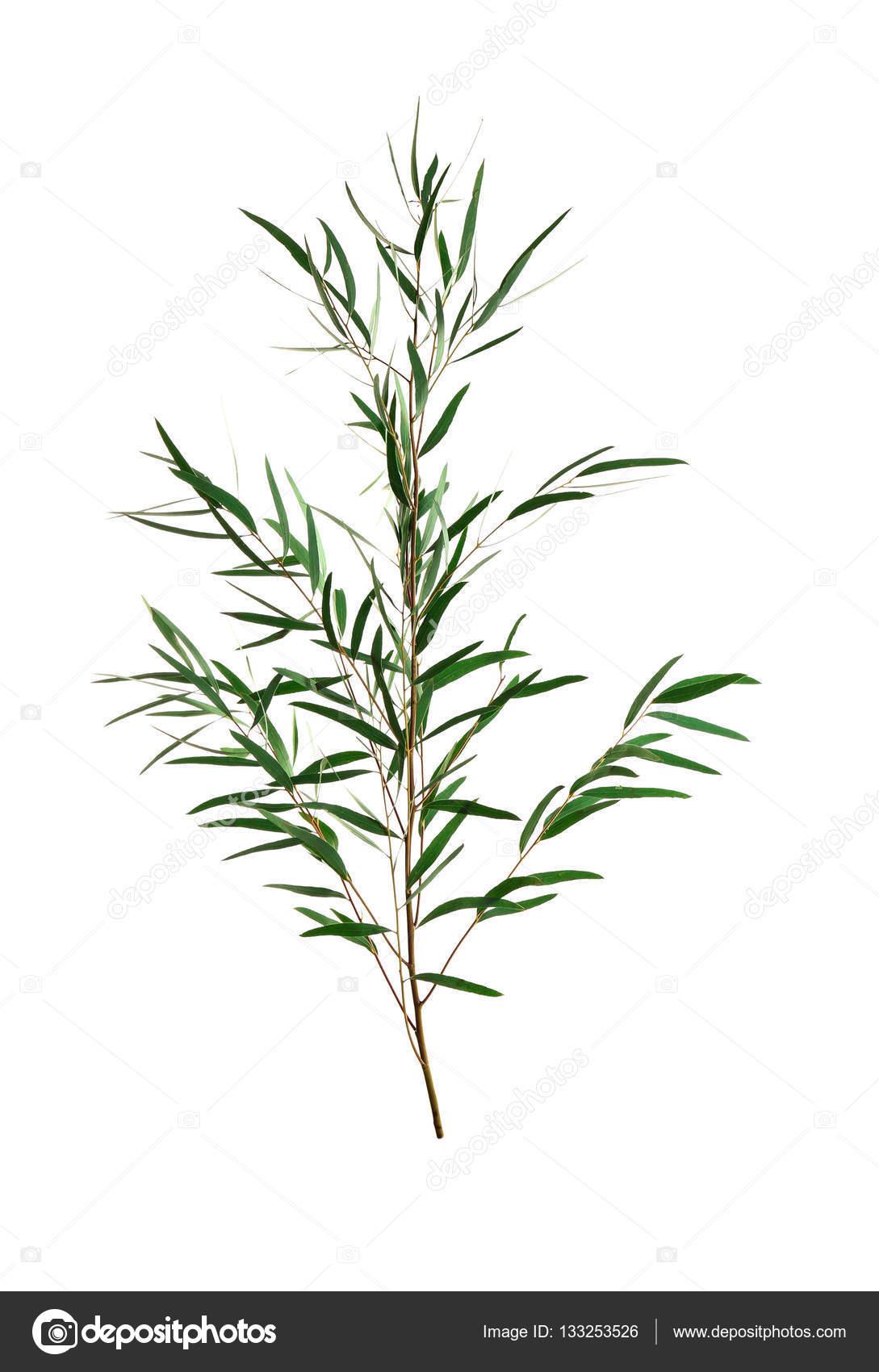 branche d'eucalyptus nicholii — photographie belchonock © #133253526
