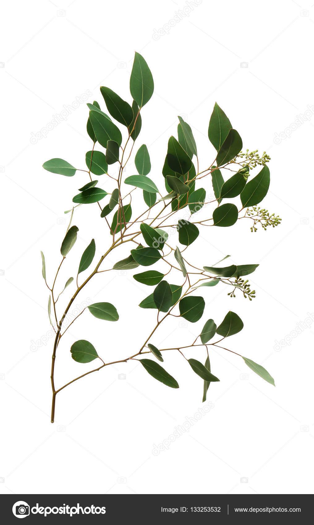 branche d'eucalyptus populus — photographie belchonock © #133253532