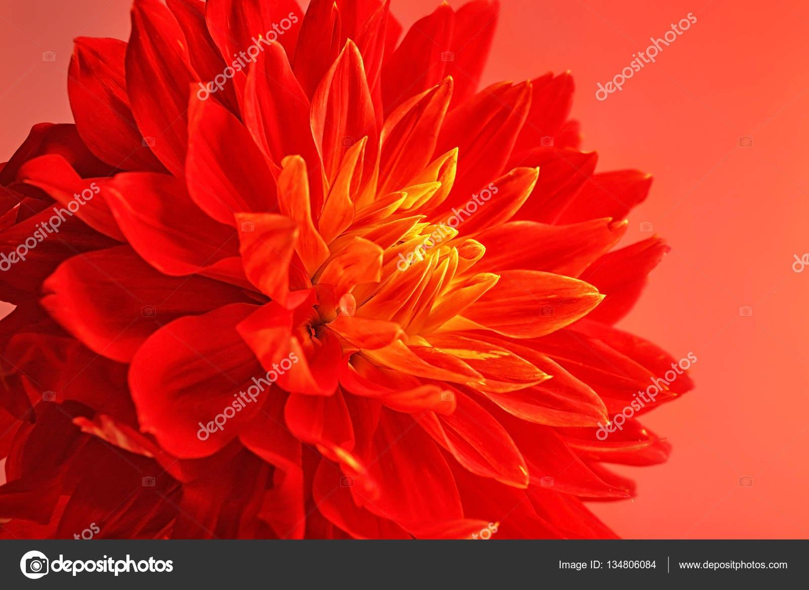 Beautiful Red Dahlia Flower Stock Photo Belchonock 134806084